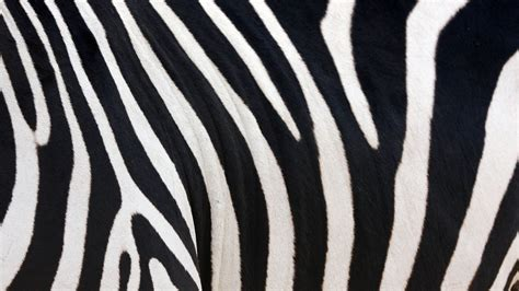 furry zebra print wallpaper for walls zebra skin 662825 walldevil