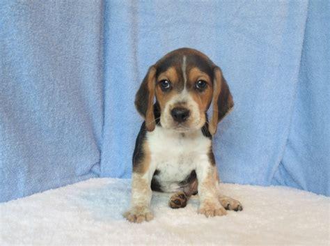 beagle puppies ta beagle sale singapore beagle puppies buy buy beagle breeders beagle dogs breed