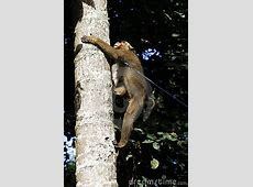 Monkey Climbing A Coconut Tree Royalty Free Stock Images ... Free Clipart Images For Holidays