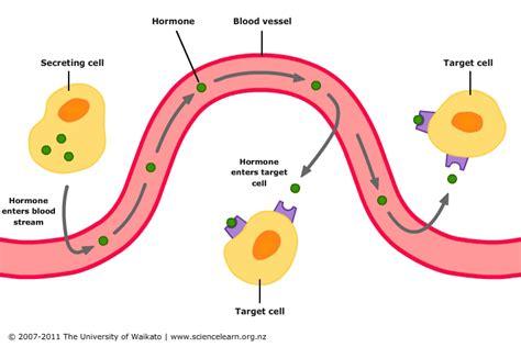 alimenti progesterone hormonal of digestion science learning hub