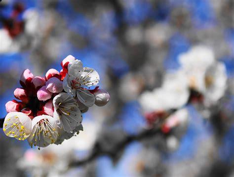 fiori albicocco albicocco in fiore i juzaphoto
