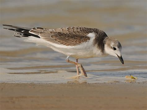 front side back juvenile juv back eating close ups close ups 2 flying sabine s gull