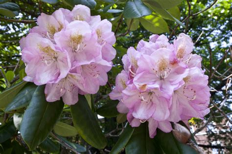 whitish pink whitish pink flowers clippix etc educational photos for