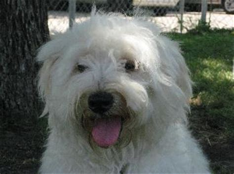 havanese and bichon mix mojito havanese humane society of dallas county