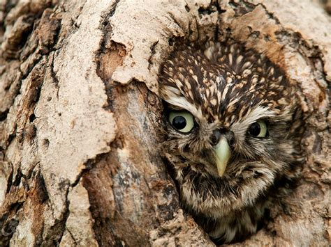owl tree owl picture northumberland photo national geographic