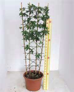 Trellis For Potted Plants Passiflora Caerulea Trellis Climber 20 Litre Pot Plants