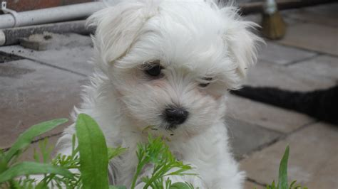 maltese puppies for sale adorable maltese puppies for sale bury st edmunds