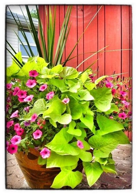 sweet potato container garden 17 best images about container gardens on