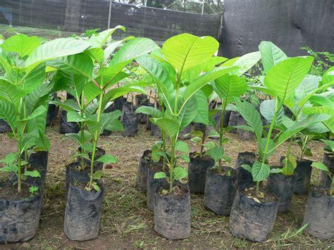 Bibit Pohon Jabon cara budidaya pohon jabon markohot news