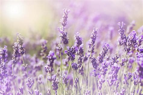 growing lavender in florida everything you need to know about