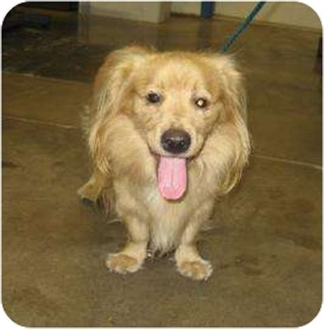 cavalier king charles spaniel golden retriever mix captain adopted 13559968 melbourne ky cavalier king charles spaniel