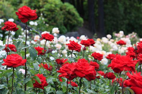 rose gardening international rose test garden portland oregon partaste