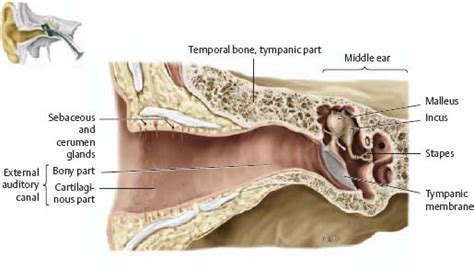 6 Auditory Bones by Temporal Bone Ear Atlas Of Anatomy