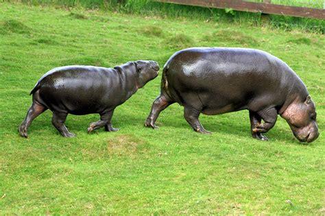 grown pygmy hippo imgkid com the image kid
