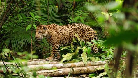 jaguars rainforest image gallery rainforest jaguar