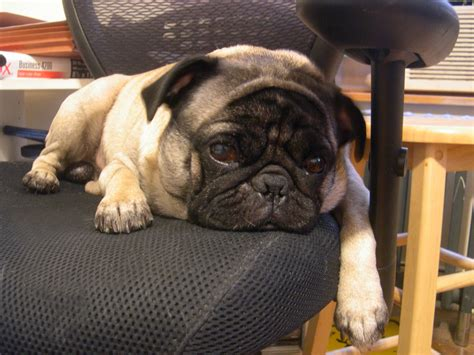 pug in chair pugs archives about pug