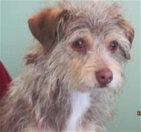 italian greyhound yorkie mix discover and save creative ideas