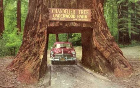 Chandelier Tree Leggett Ca Drive Thru Redwood Quot Chandelier Tree Quot Buy Redwood