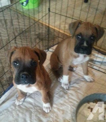 boxer puppies price boxer puppies reduced price for sale in olivehurst california classified