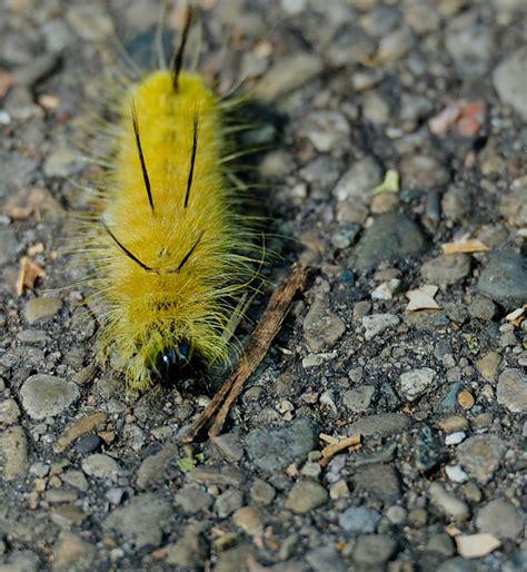 Caterpillar Yellow gallery yellow fuzzy caterpillar poisonous