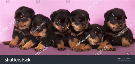 rottweiler 1 month puppy rottweiler 1 month stock photo 65328949