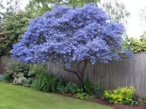 Flowering Shrubs For Small Gardens Ceanothus Flowering Evergreen Grown As A Tree Gardening Shrubs Trees
