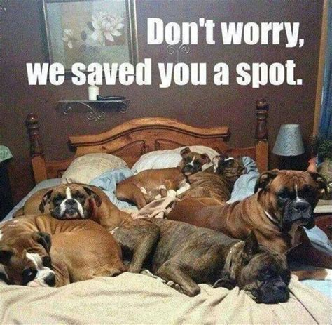 Boxer Dog Meme - funny animal pictures of the day 28 pics