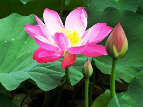 bunga tratai angka 8 60 best sebut saja quot bunga quot images on lotus