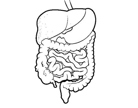 dibujo del aparato humano dibujo de sistema digestivo para colorear dibujos net