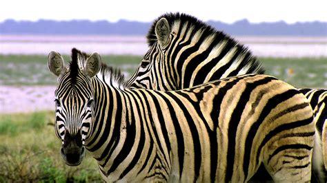apple zebra wallpaper hd animals of africa zebra striped like a tiger hd wallpaper