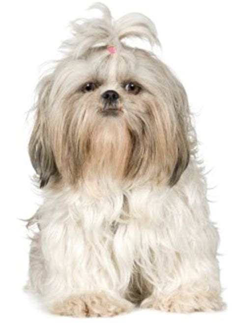 characteristics of shih tzu the shih tzu temperament personality