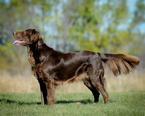 the flat coated retriever lil dog whisperer flat coated retriever peter pan of the dog world