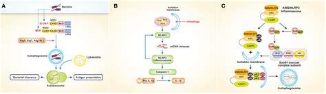 pattern recognition receptors and autophagy frontiers pattern recognition receptors and autophagy