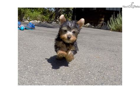 yorkie puppies for adoption in bay area ariel terrier yorkie puppy for sale near san francisco bay area