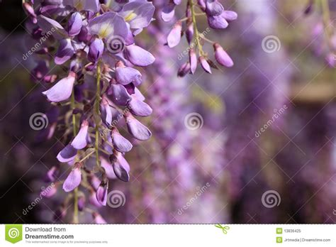 wisteria flowers royalty free stock photo image 13836425