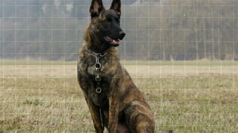belgian malinois vs german shepherd belgian malinois vs german shepherd quotes