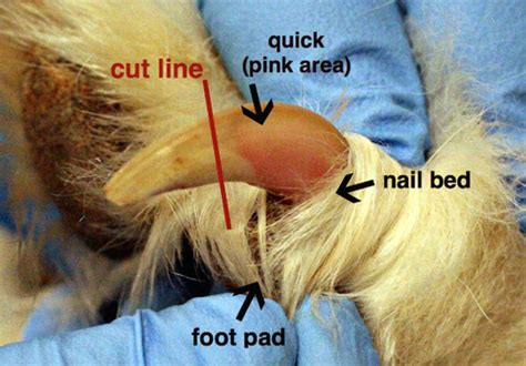 how often to cut dogs nails 17 best images about i dogs unconditional on chihuahuas pets