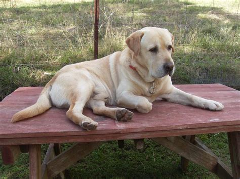 lab breed breed gallery labrador retriever dogs breeds picture