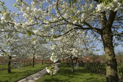 cherry tree 4th ave an avenue of white cherry trees prunus avium quot plena quot outside the walled garden in april at