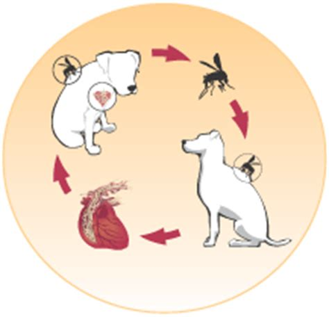 how can a live with heartworms myvetonline heartworm intestinal parasites