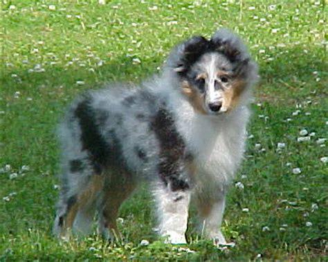 blue merle sheltie puppies sheltie puppy blue merle boy by victorina on deviantart