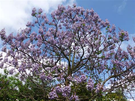 Chinesischer Blauglockenbaum Kaufen by Paulownia Tomentosa Paulownie Blauglockenbaum Garten