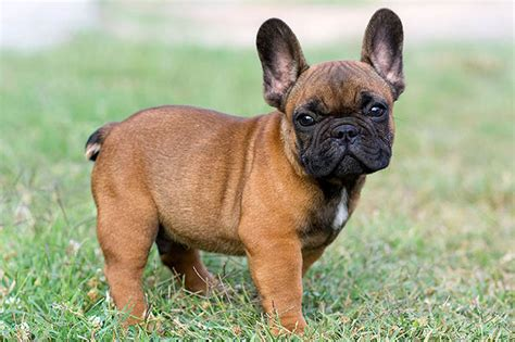 how many puppies can a bulldog 10 amazing facts about bulldogs frenchie facts
