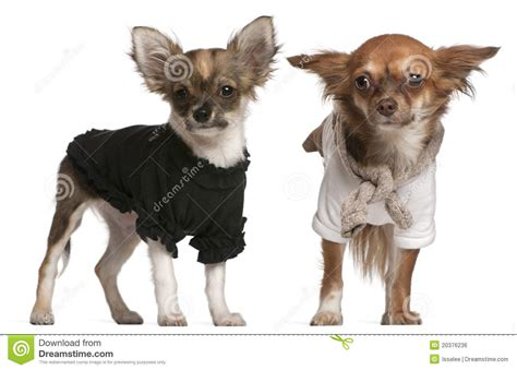 puppies dressed up chihuahua puppies dressed up royalty free stock image image 20376236