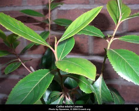 Images Of Plants | erowid plants vaults images catha edulis