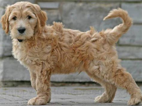goldendoodle puppy aggressive goldendoodle