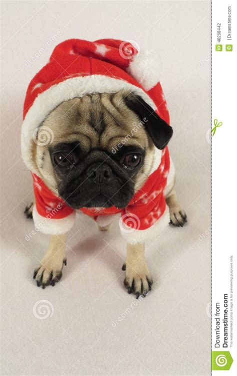 pug in santa costume laying pug with santa costume stock photo image 48260442