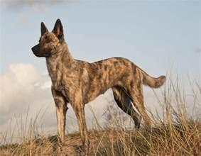 belgian sheepdog exercise dutch shepherd dog breed information american kennel club