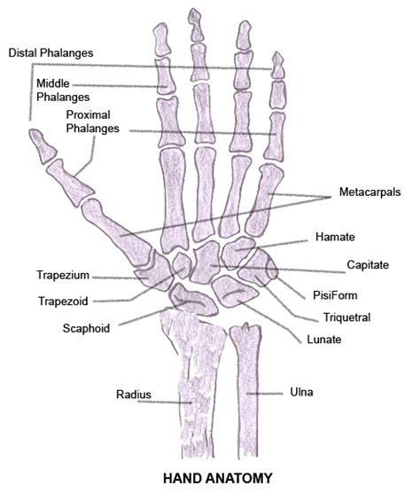 the attentive heart conversations with trees ebook human hand anatomy diagram gallery how to guide and refrence