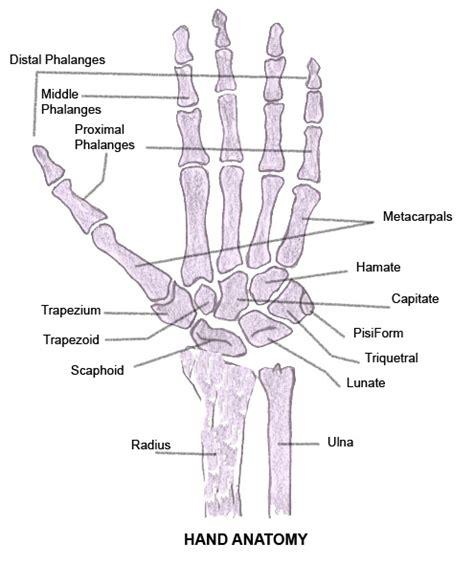 bone joint diagram human anatomy anatomy bones gallery learning 2015